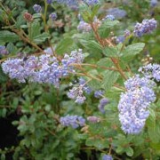 'Burkwoodii' is a compact evergreen shrub with small, deep blue, flowers in rounded clusters. Ceanothus 'Burkwoodii' added by Shoot)