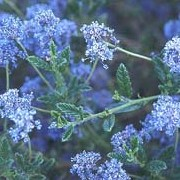 'Concha' is an evergreen shrub with arching branches with narrow, dark green leaves and clusters of deep blue flowers. Ceanothus 'Concha' added by Shoot)