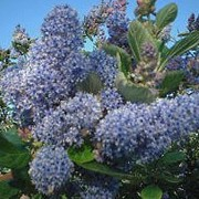 'Trewithen Blue' is a large vigorous evergreen spreading shrub with slightly fragrant deep blue flowers in long panicles. Ceanothus arboreus 'Trewithen Blue' added by Shoot)