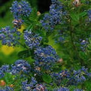 'Pugets Blue' forms clusters of bright blue flowers in the summer. It has small, semi-evergreen leaves. Ceanothus Inpressus 'Pugets Blue' added by Shoot)