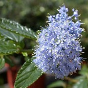 Ceanothus thyrsiflorus var. repens added by Shoot)