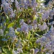 'Gloire de Versailles' is a fast-growing medium-sized deciduous shrub of rounded habit, with broad oval, light green leaves, and large panicles of scented light-blue flowers. Ceanothus x delileanus 'Gloire de Versailles added by Shoot)