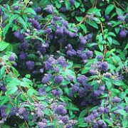 'Topaze' is a rounded, mid-sized, deciduous shrub with  dark-green leaves.  It bears dark-blue flowers from mid-summer to autumn. Ceanothus x delileanus 'Topaze' added by Shoot)