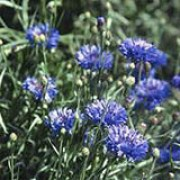 'Florence Violet' is a dwarf compact annual, forming a profusion of double rich-blue flowers. Centaurea cyanus 'Florence Violet' added by Shoot)