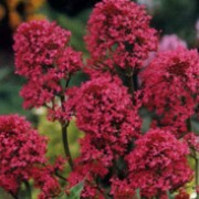 Centranthus ruber added by Shoot)