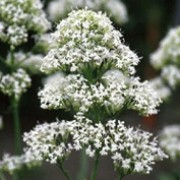 'Albus' has greyish-green leaves and sprays of small white flowers. Centranthus ruber 'Albus' added by Shoot)