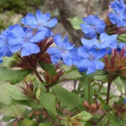 Ceratostigma griffithii added by Shoot)