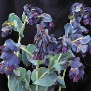 Cerinthe major 'Purpurescens' added by Shoot)