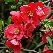 'Rowallane' is a small shrub, with obovate leaves and dark red flowers followed by yellow fruits. Chaenomeles x superba 'Rowallane' added by Shoot)