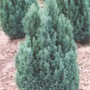 'Ellwoodii' is a fairly slow-growing large evergreen shrub of columnar habit, with grey-green to blue-green, semi-juvenile foliage in short soft sprays. Chamaecyparis lawsoniana 'Ellwoodii' added by Shoot)