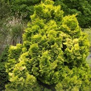 'Lutea Nana' is a mid-sized, slow-growing, evergreen coniferous shrub with a narrowly conical habit.  Its foliage is golden-yellow and borne on dense, short sprays. Chamaecyparis lawsoniana 'Lutea Nana' added by Shoot)