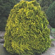 'Minima Aurea' is a dwarf evergreen coniferous shrub with a conical habit.  It foliage is golden-yellow foliage and borne in dense, mostly vertical sprays. Chamaecyparis lawsoniana 'Minima Aurea' added by Shoot)