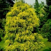 'Filifera Aurea' is a slow-growing, large, evergreen coniferous shrub with an open, broadly conical habit.  Its foliage is gracefully weeping and golden-yellow, held in short tufts and longer unbranched shoots.