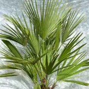 Chamaerops humilis added by Shoot)