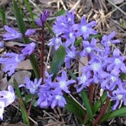 Chionodoxa sardensis added by Shoot)