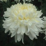 'White Allouise' is a half-hardy perennial with an erect habit.  Its lobed foliage is dark-green.  In autumn it bears fully-double, creamy-white flowers whose inner florets are tinged pale yellow. Chrysanthemum 'White Allouise' added by Shoot)
