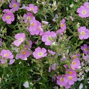 'Silver Pink' is a compact rounded shrub, with lance-shaped leaves and white-flushed, pale pink flowers and yellow disc-florets. Cistus Dans. x argenteus 'Silver Pink' added by Shoot)