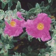 'Sunset' is a low, spreading evergreen shrub with whorled, grey-green leaves and clusters of yellow-centred, rose-pink flowers in summer. Cistus x pulverulentus 'Sunset' added by Shoot)