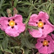 Cistus x purpureus added by Shoot)