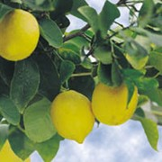 'La Valette' is an evergreen shrub with fragrant white flowers flushed red followed by rounded yellow lemon-limes in summer and autumn. The fruit is the same shape as a lemon but has better, more lime-like flavour. Citrus 'La Valette' added by Shoot)