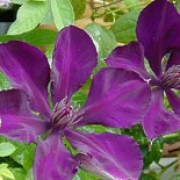 'Gipsy Queen' is a large, vigorous, deciduous climber with ovate, mid-green leaves.  In late summer it bears large, deep, velvety, reddish-purple flowers with brown stamens. Clematis 'Gipsy Queen' added by Shoot)
