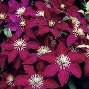'Niobe' is a moderate climber with large, open deep-red (almost black) velvet flowers with yellow anthers in great profusion through summer. Clematis 'Niobe'  added by Shoot)