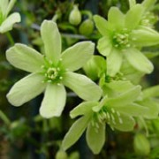 'Pixie' is a compact, evergreen clematis bearing a profusion of sweetly scented pale-yellow flowers throughout spring.  Clematis 'Pixie' added by Shoot)