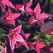 'Princess Diana' is a deciduous climber with single, swirled and bell-shaped red-pink flowers in summer and early autumn Clematis texensis 'Princess Diana' added by Shoot)
