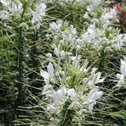Cleome hassleriana 'Helen Campbell' added by Shoot)
