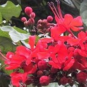 Clerodendrum splendens added by Shoot)