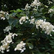 Clethra alnifolia 'Paniculata' added by Shoot)