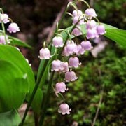 Convallaria majalis added by Shoot)