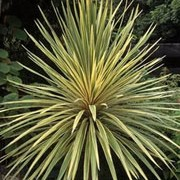'Albertii' is a palm-like, evergreen tree with several branches.  It has sword-shaped, cream-striped, green leaves, which are  pink tinged when young.   Cordyline australis 'Albertii' added by Shoot)