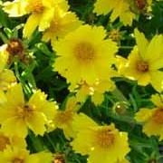 'Grandiflora' is a compact herbaceous perennial with finely divided leaves and deep golden-yellow daisies. Coreopsis verticillata 'Grandiflora' added by Shoot)
