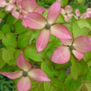 'Satomi' is a medium deciduous shrub bearing ovate leaves which turn purple-red in the autumn. Each flower-head is surrounded by dark pink bracts, followed by strawberry-like, pink fruit. Cornus kousa 'Satomi' added by Shoot)