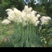 'Sunningdale Silver' is an evergreen grass with narrow, dark green leaves and long, silky, cream-white flowers borne on stems (resembling large feathers). Cortaderia selloana 'Sunningdale Silver' added by Shoot)