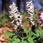 Corydalis cava added by Shoot)