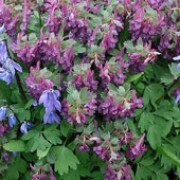 subsp. incisa is a small herbaceous perennial with divided, grey-green leaves.  In spring it bears racemes of pale-purple flowers. Corydalis solida subsp. incisa added by Shoot)