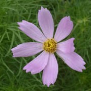 'Sensation Pinkie' is an erect, bushy annual with finely dissected leaves and single, purplish-pink flowers.