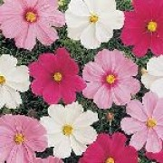 Sonata Series are compact annuals with dissected leaves and red, pink and white daisy-like flowers with a yellow centre. Cosmos bipinnatus Sonata Series added by Shoot)