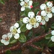 C. dammeri is a fast-growing evergreen shrub with small, rounded leaves and small white flowers, followed by bright red berries. Cotoneaster dammeri added by Shoot)