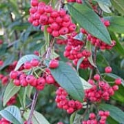 'Cornubia' is a large, semi-evergreen shrub with dark- green leaves.  It bears white flowers in summer followed by bright red berries in autumn. Cotoneaster frigidus 'Cornubia' added by Shoot)
