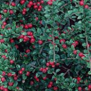Cotoneaster horizontalis added by Shoot)