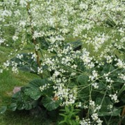 Crambe cordifolia added by Shoot)