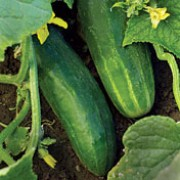Cucumis sativus added by Shoot)