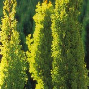 'Swane's Golden' is a mid-sized, evergreen, coniferous tree with a narrowly columnar habit.  Its foliage is light-yellow to greenish-yellow.