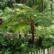 Cyathea cooperi added by Shoot)