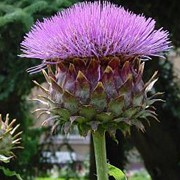 Cynara cardunculus added by Shoot)