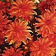 'Carola' is a dwarf dahlia with red, semi-cactus flowers with a pink centre, which blooms in autumn until the first frosts. Dahlia 'Carola' added by Shoot)