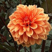 'David Howard' is a herbaceous perennial miniature-flowered decorative dahlia.  Its dark green divided foliage is bronze-tinged.  In summer and autumn it bears double bronze-orange flowers.